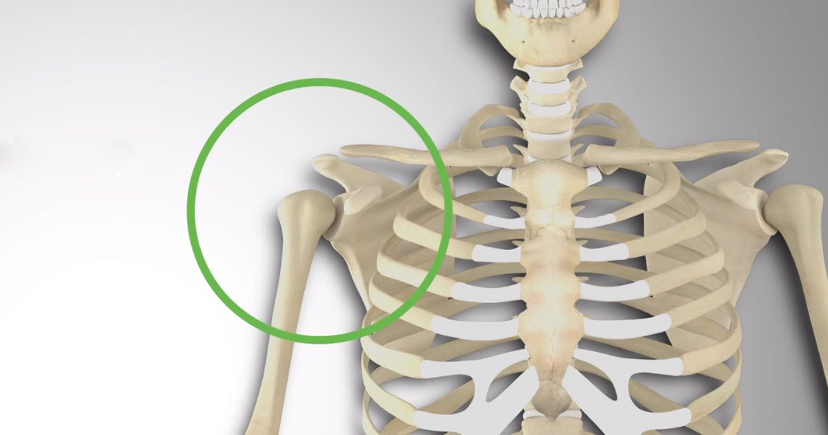 What Is The Shoulder Girdle Or The Shoulder Complex 3d Muscle Lab