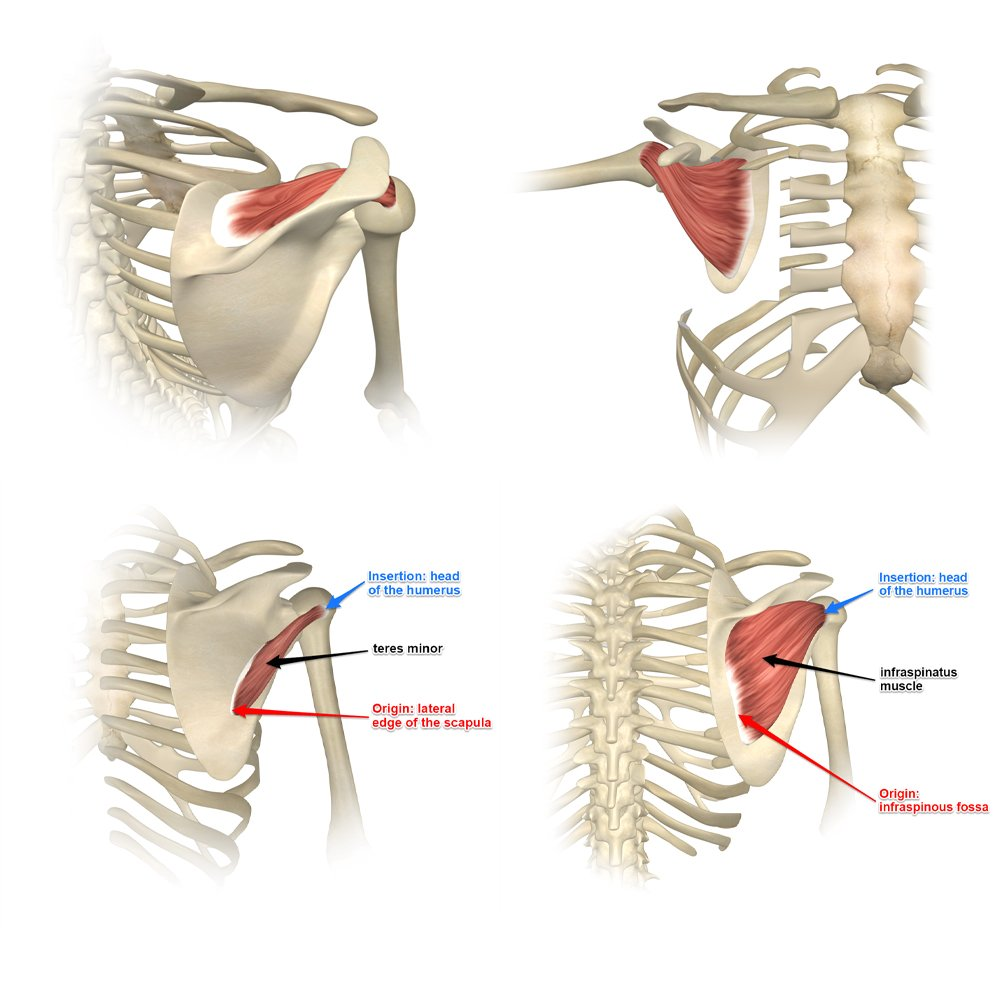 The Rotator Cuff Muscles