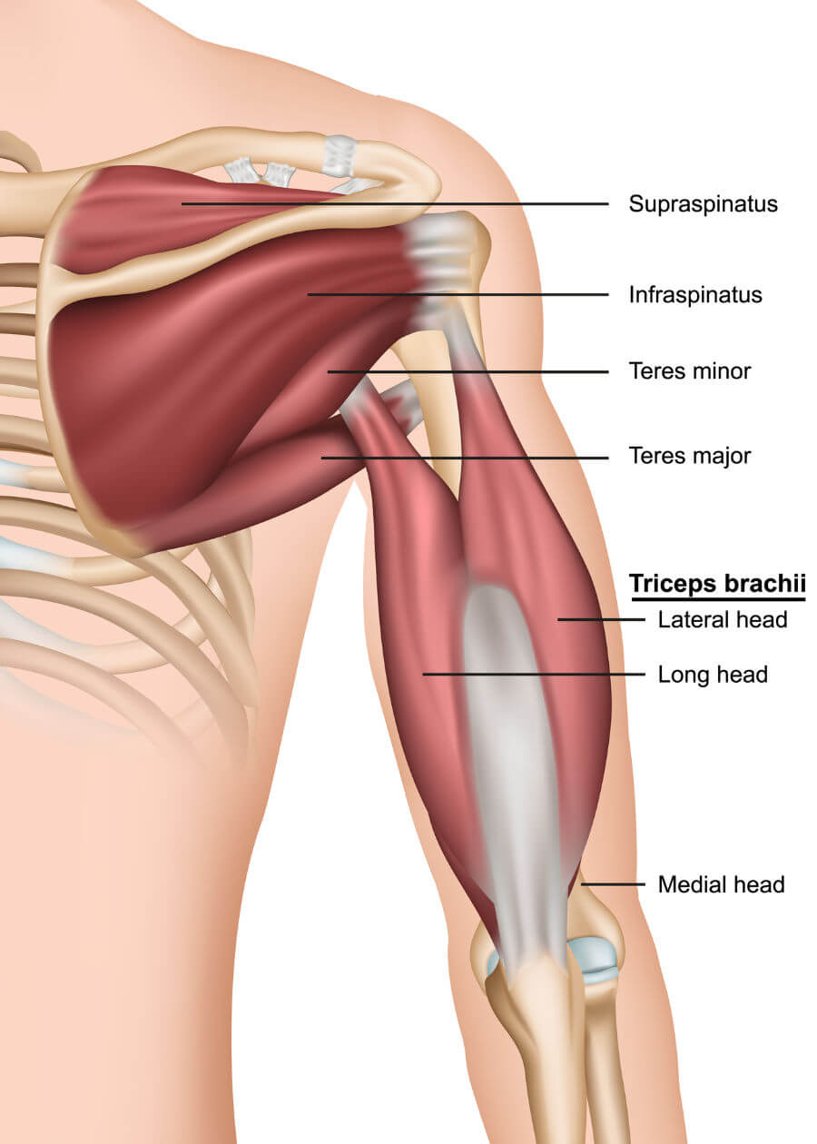 Rotator Cuff Muscles In Movement